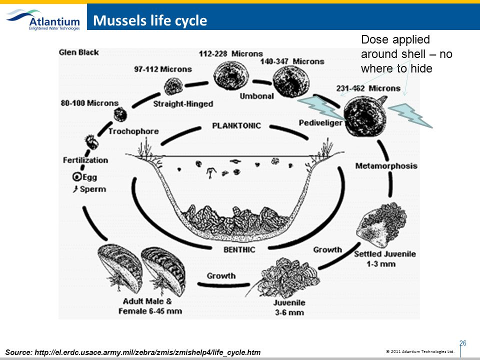 Mussels life cycle Dose applied around shell – no where to hide