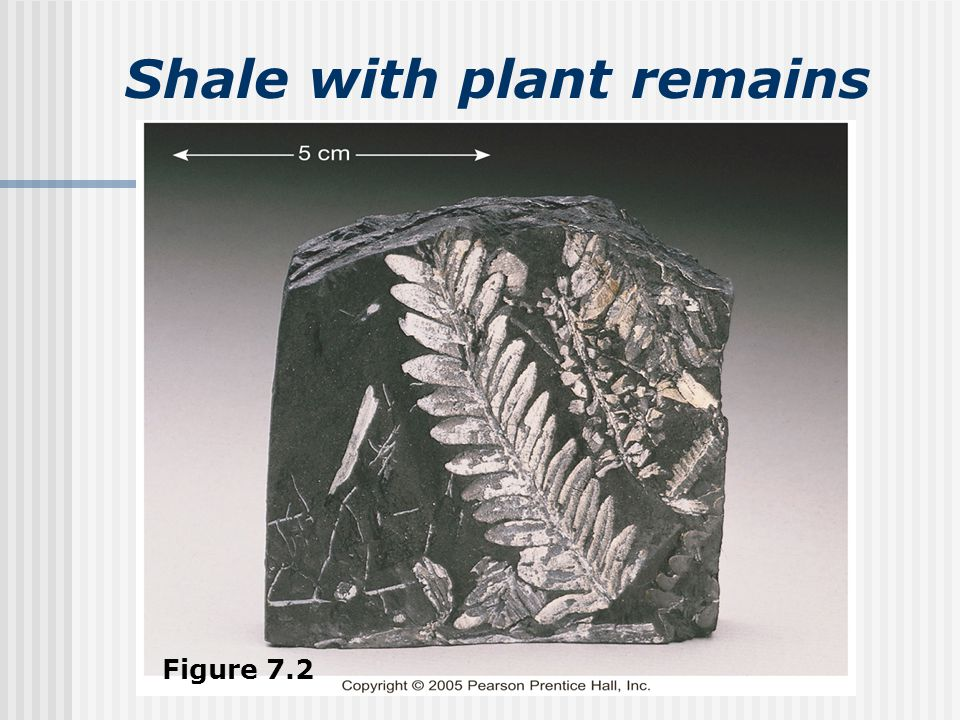 Shale with plant remains