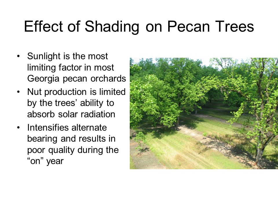 Effect of Shading on Pecan Trees