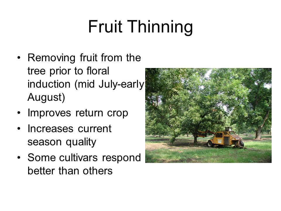 Fruit Thinning Removing fruit from the tree prior to floral induction (mid July-early August) Improves return crop.