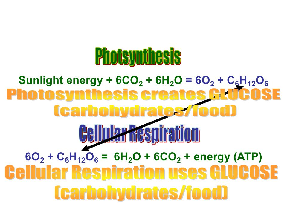 Photosynthesis creates GLUCOSE (carbohydrates/food)