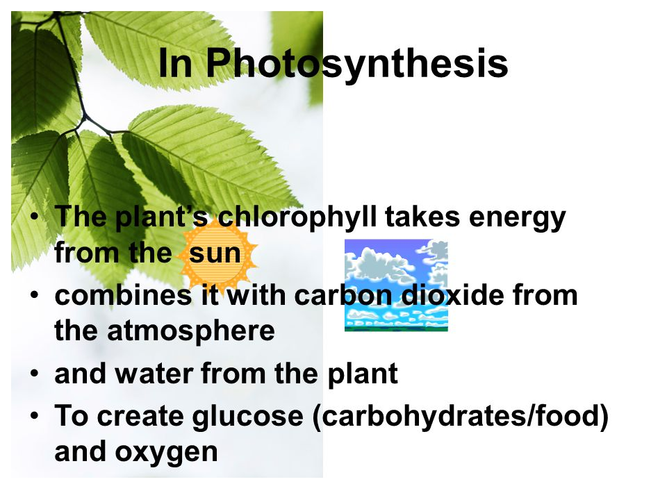 In Photosynthesis The plant's chlorophyll takes energy from the sun