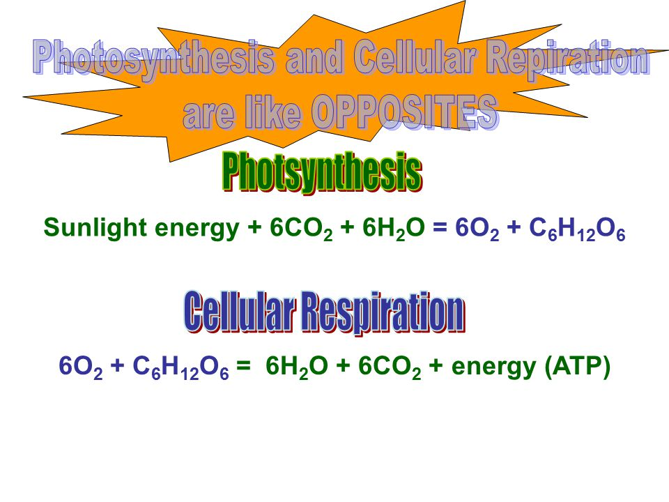 Photosynthesis and Cellular Repiration are like OPPOSITES
