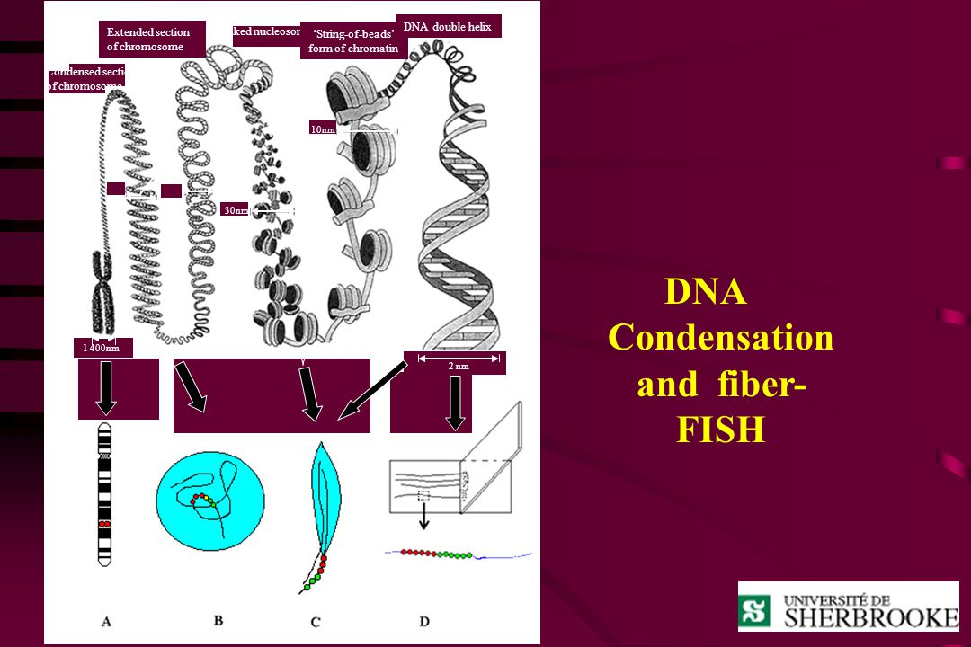 DNA Condensation and fiber-FISH