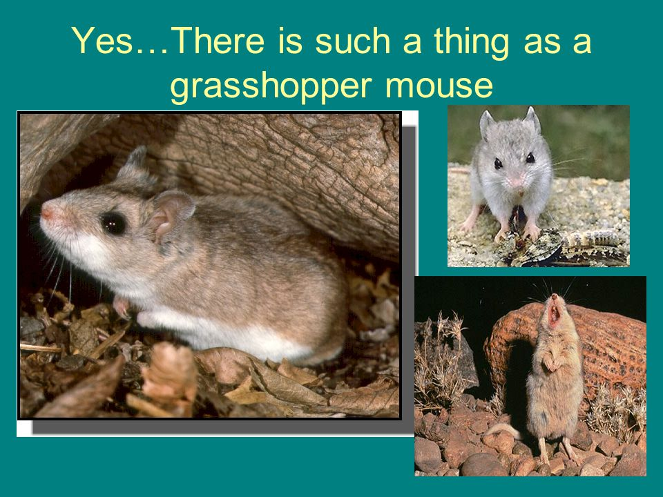 Yes…There is such a thing as a grasshopper mouse