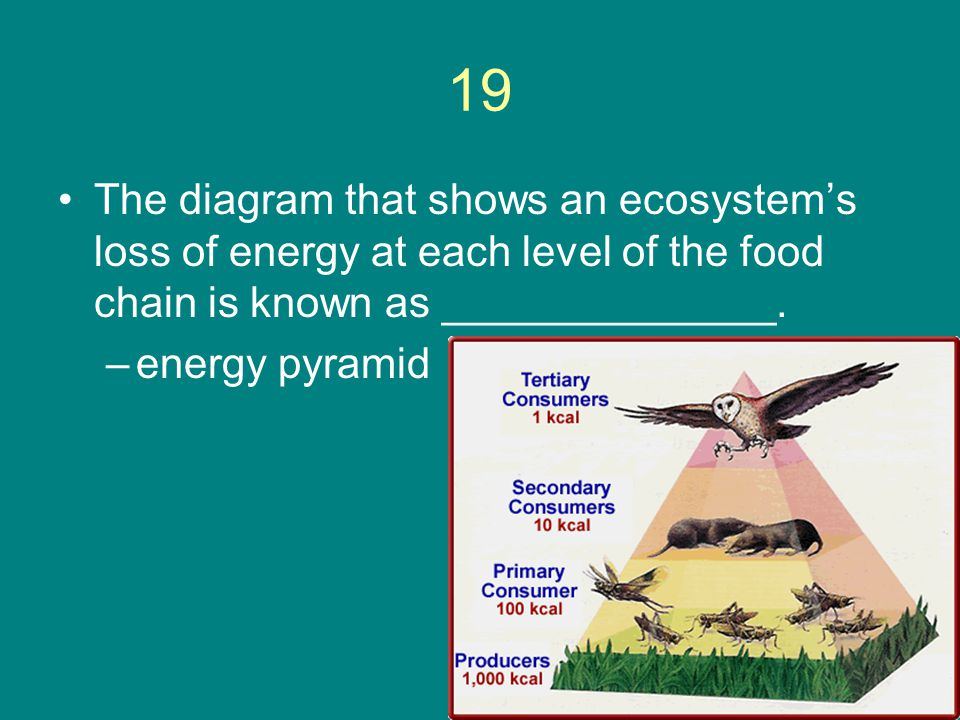 19 The diagram that shows an ecosystem's loss of energy at each level of the food chain is known as ______________.