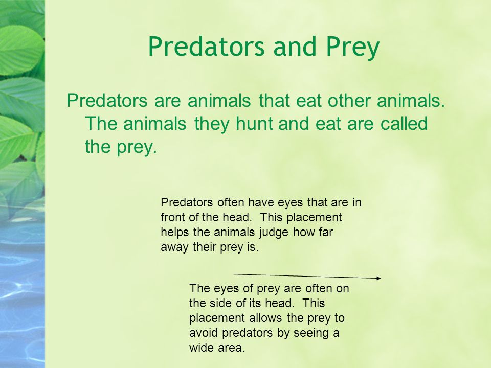 Predators and Prey Predators are animals that eat other animals. The animals they hunt and eat are called the prey.