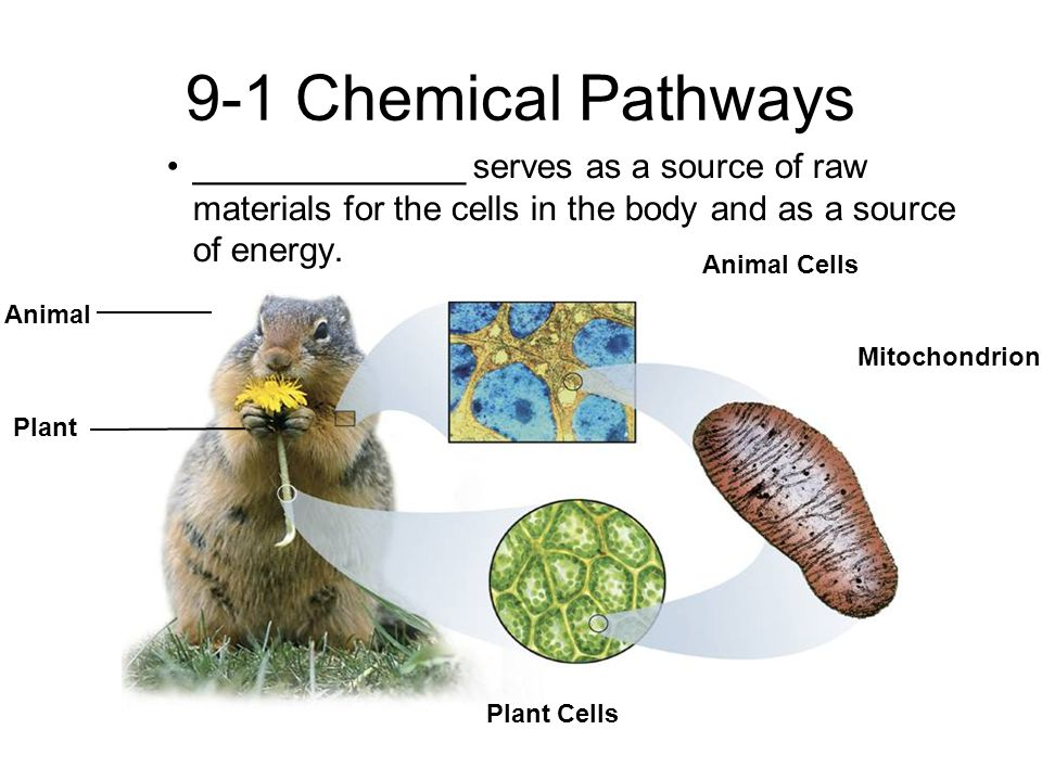 9-1 Chemical Pathways ______________ serves as a source of raw materials for the cells in the body and as a source of energy.