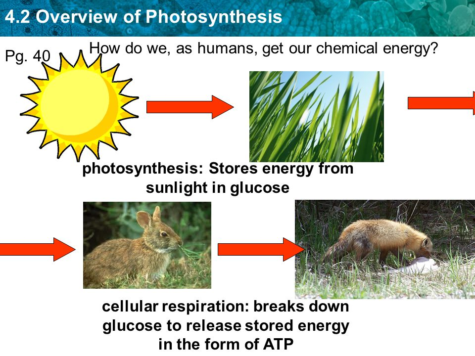 photosynthesis: Stores energy from sunlight in glucose