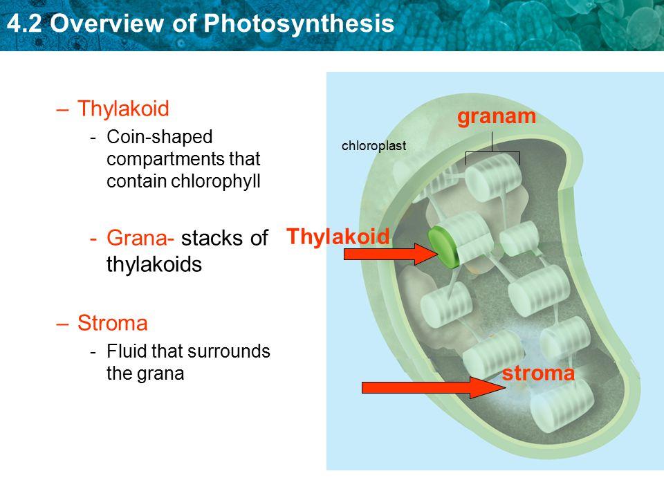 Grana- stacks of thylakoids