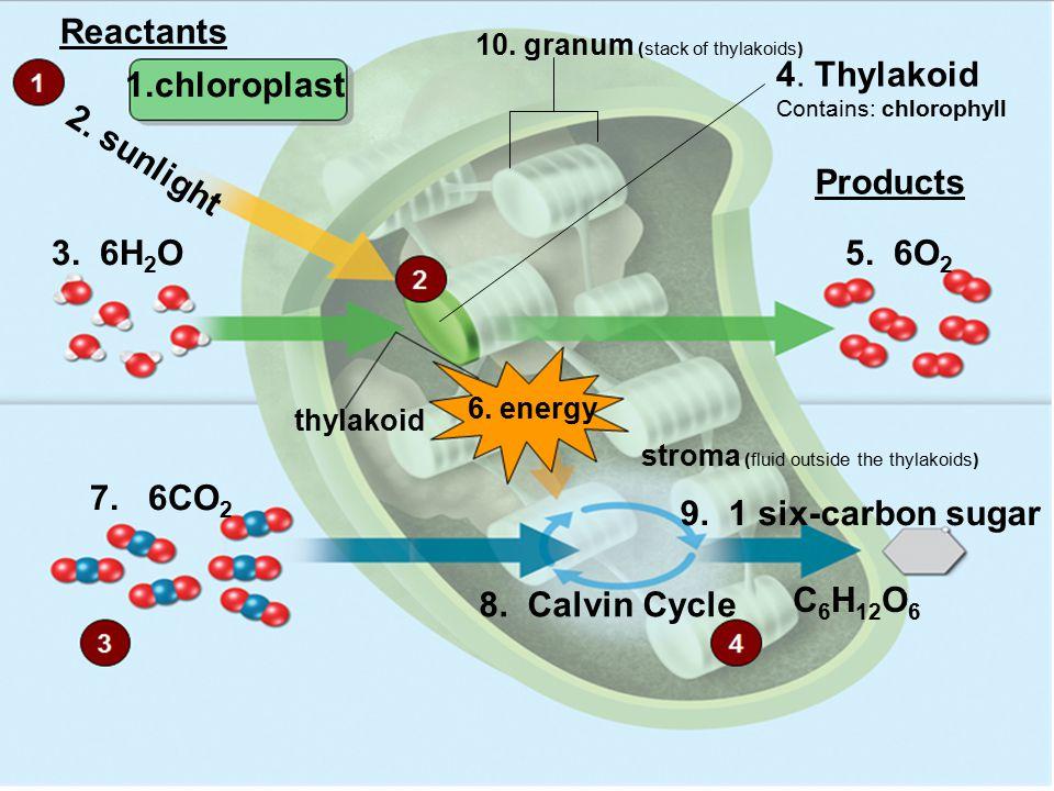 Reactants 4. Thylakoid 1.chloroplast 2. sunlight Products 3. 6H2O