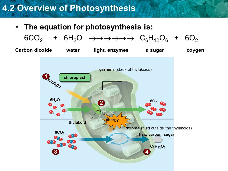The equation for photosynthesis is: 6CO2 + 6H2O  C6H12O6 + 6O2