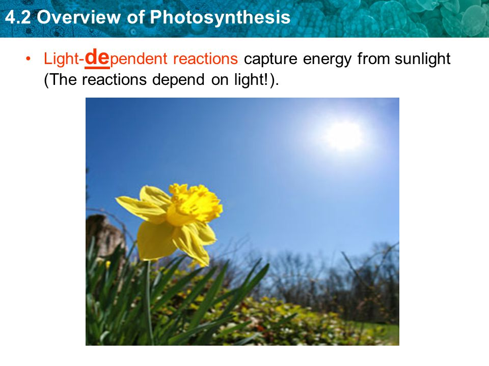 Light-dependent reactions capture energy from sunlight (The reactions depend on light!).