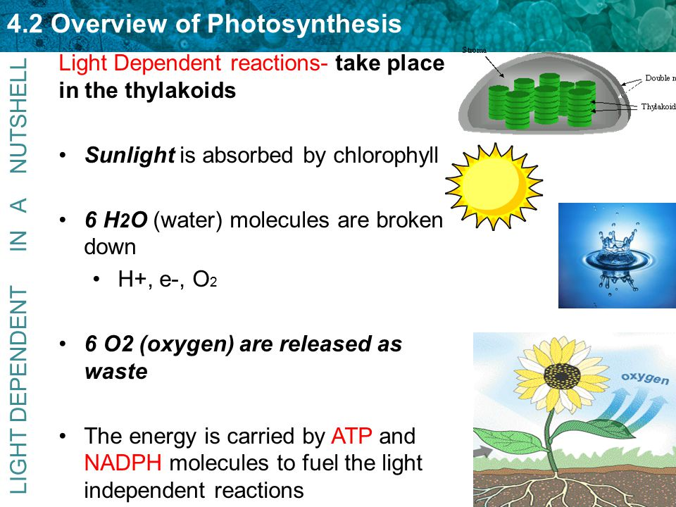 Light Dependent reactions- take place in the thylakoids