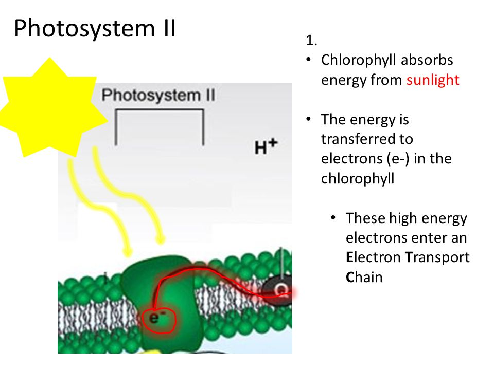 Photosystem II 1. Chlorophyll absorbs energy from sunlight