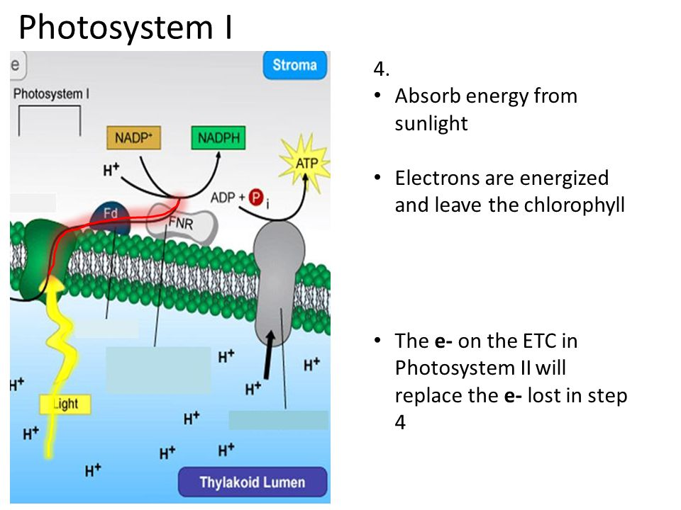 Photosystem I 4. Absorb energy from sunlight