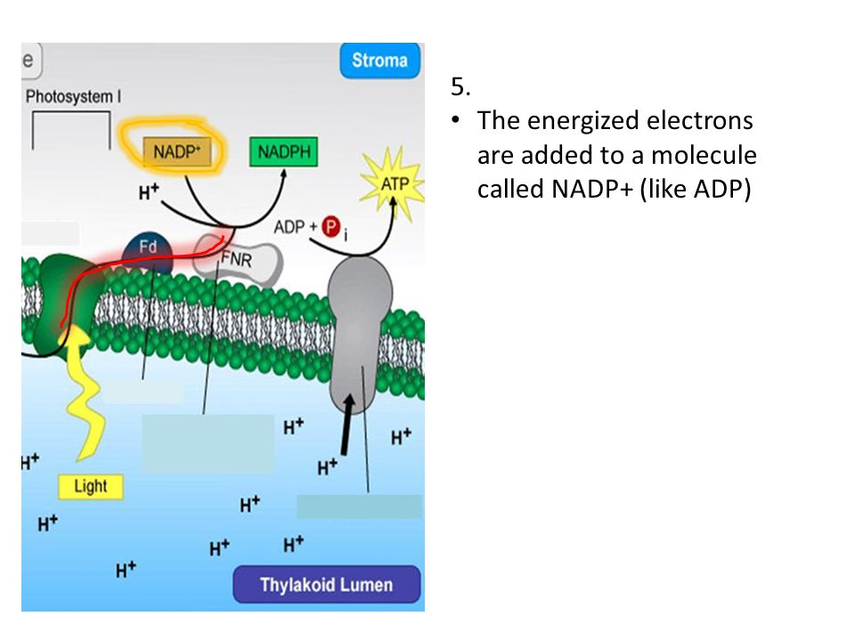 5. The energized electrons are added to a molecule called NADP+ (like ADP)