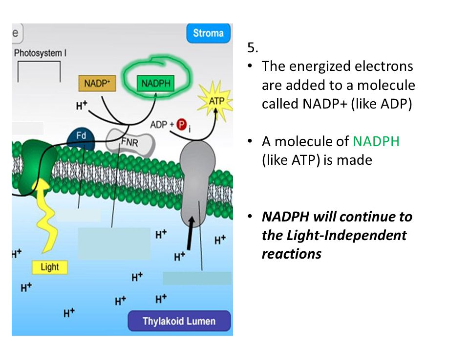5. The energized electrons are added to a molecule called NADP+ (like ADP) A molecule of NADPH (like ATP) is made.