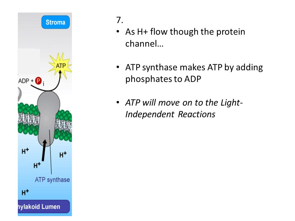 7. As H+ flow though the protein channel… ATP synthase makes ATP by adding phosphates to ADP.