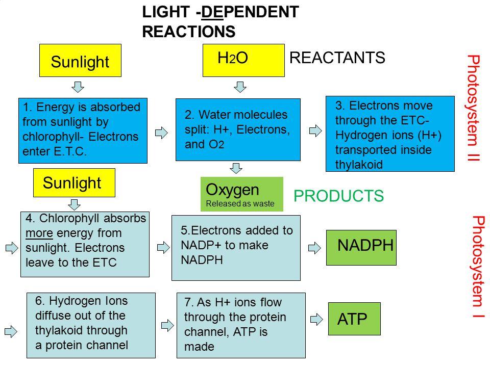 LIGHT -DEPENDENT REACTIONS H2O REACTANTS Sunlight Photosystem II