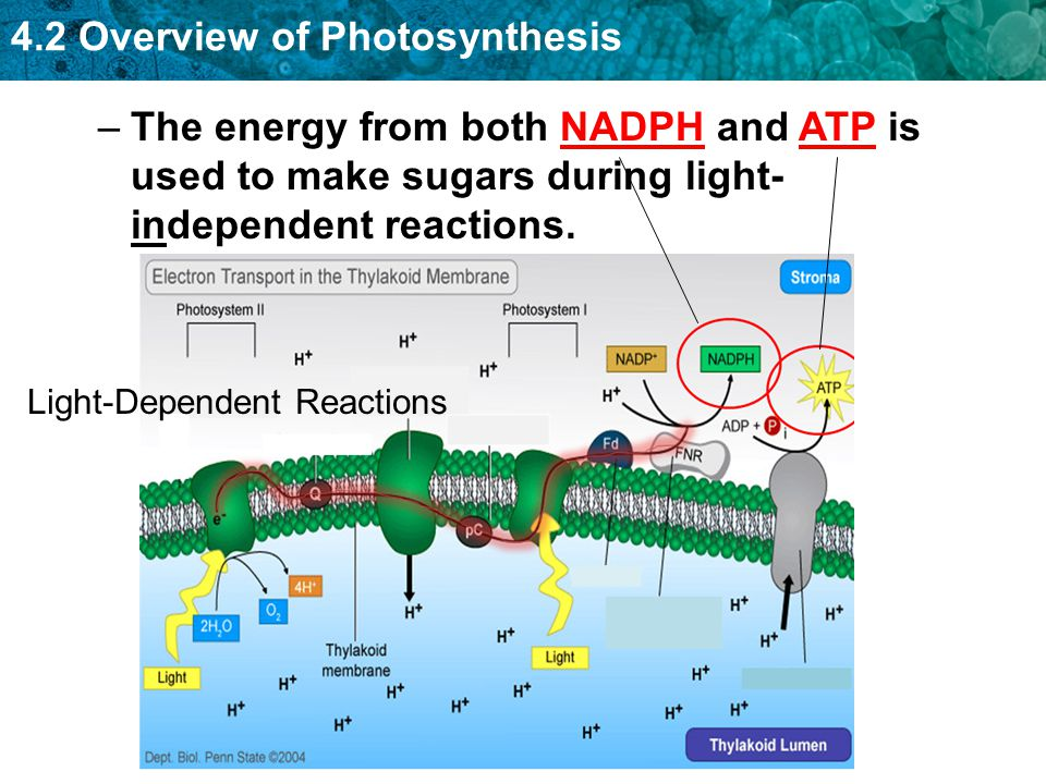 The energy from both NADPH and ATP is used to make sugars during light-independent reactions.