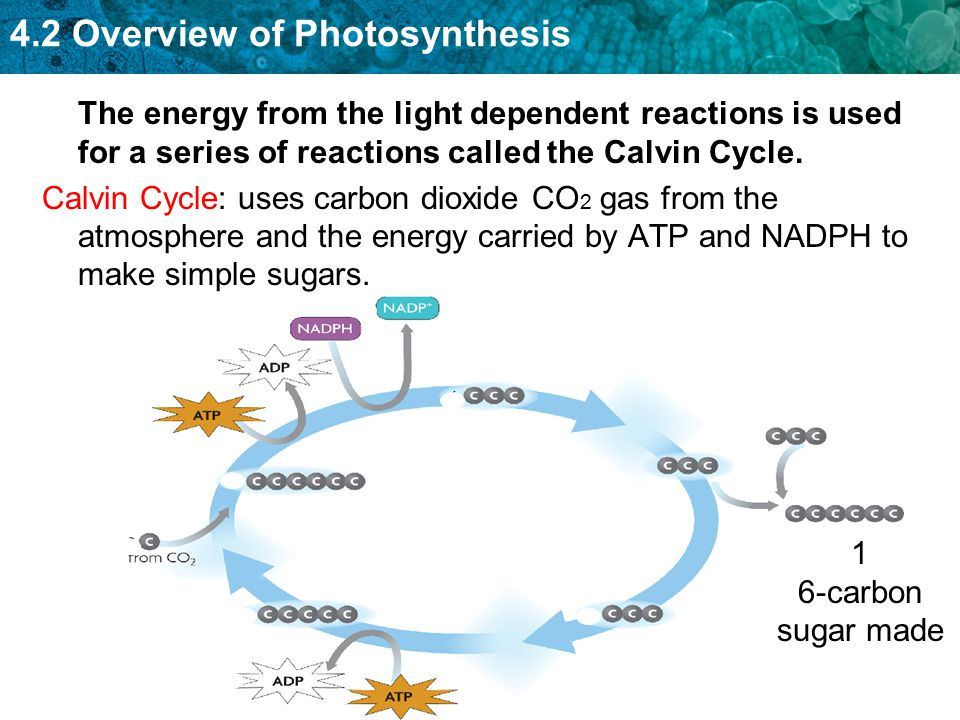 The energy from the light dependent reactions is used for a series of reactions called the Calvin Cycle.
