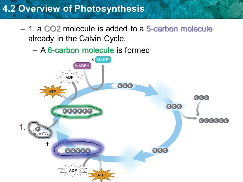 1. a CO2 molecule is added to a 5-carbon molecule already in the Calvin Cycle.