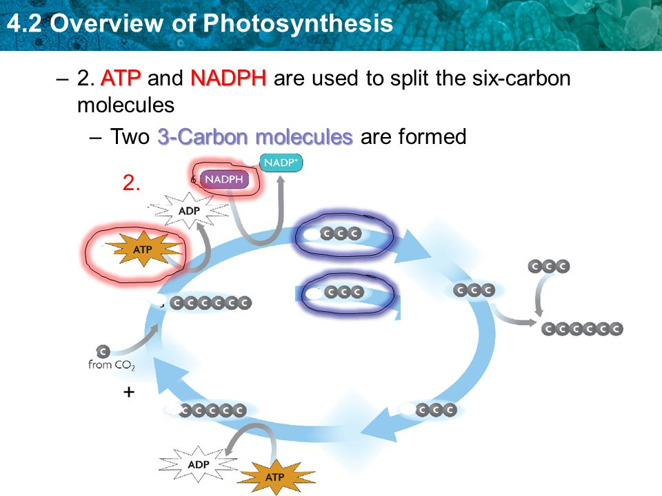 2. ATP and NADPH are used to split the six-carbon molecules