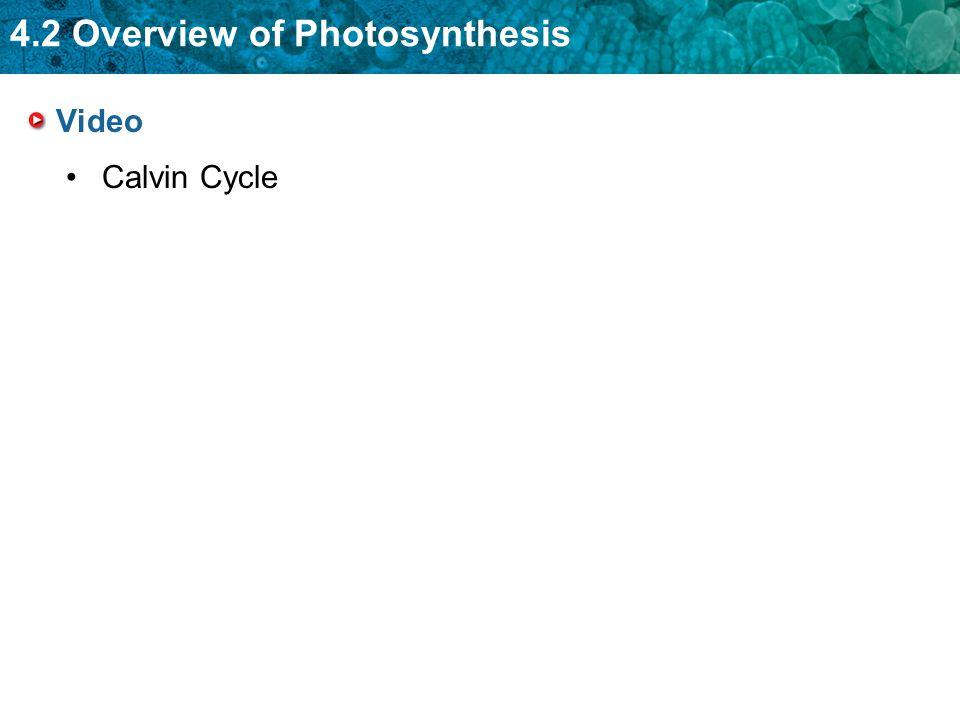 Video Calvin Cycle