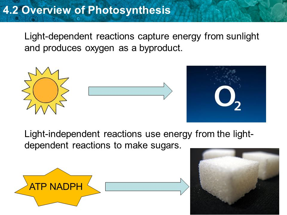 Light-dependent reactions capture energy from sunlight and produces oxygen as a byproduct.