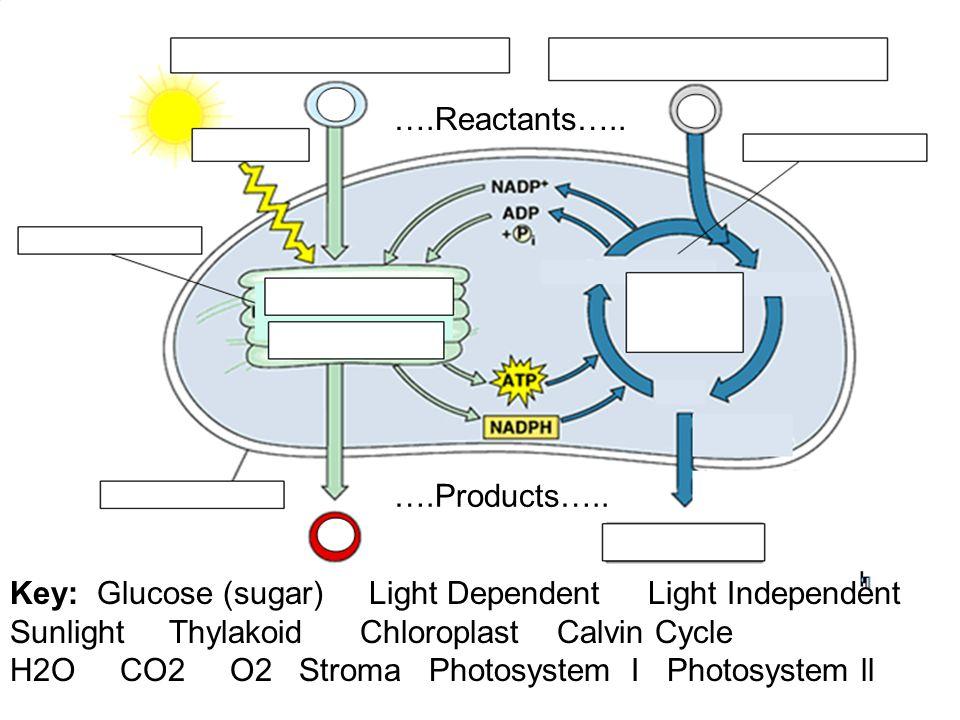 ….Reactants….. ….Products….. Key: Glucose (sugar) Light Dependent Light Independent.