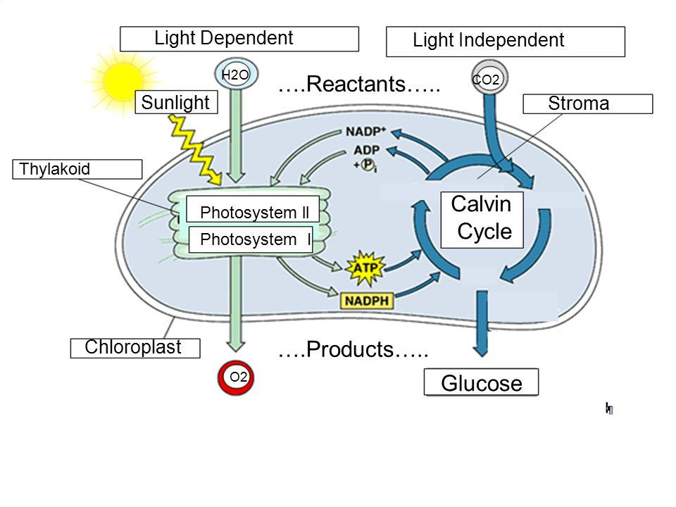….Reactants….. Calvin Cycle ….Products….. Glucose Light Dependent