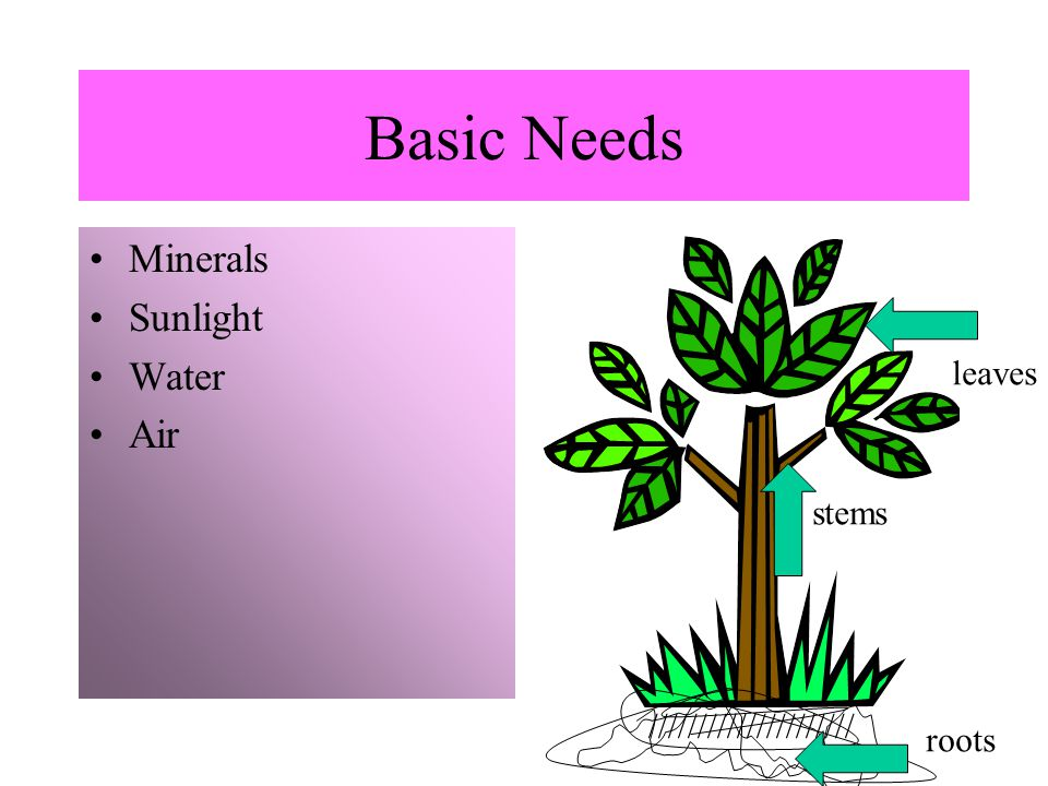 Basic Needs Minerals Sunlight Water Air leaves stems