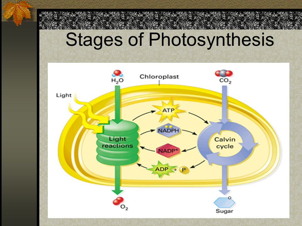 Stages of Photosynthesis