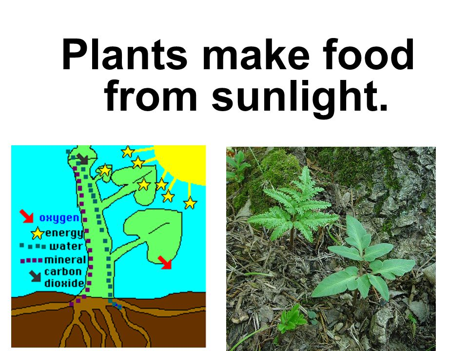 Plants make food from sunlight.
