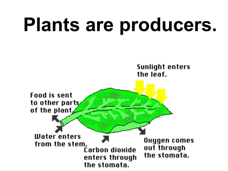 Producers make food from sunlight energy.