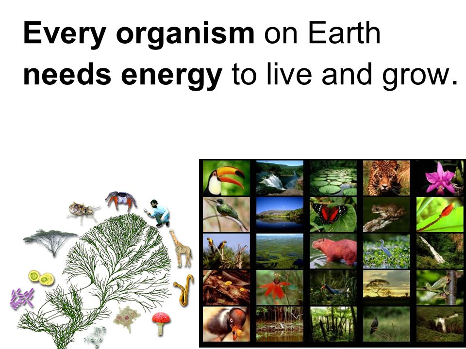 Every organism on Earth needs energy to live and grow.