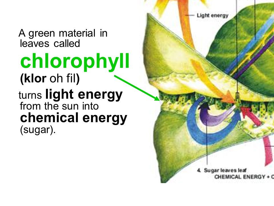 A green material in leaves called chlorophyll (klor oh fil)