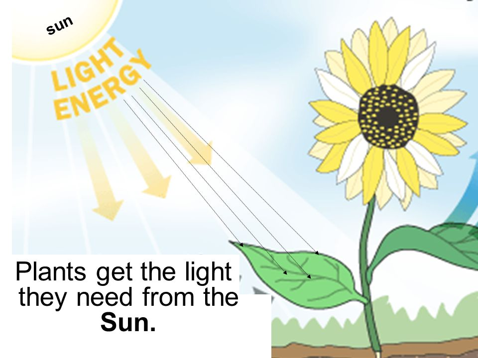 Plants get the light they need from the Sun.