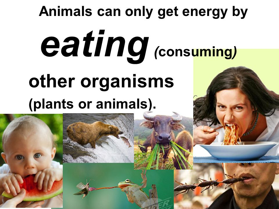 Animals can only get energy by eating (consuming)