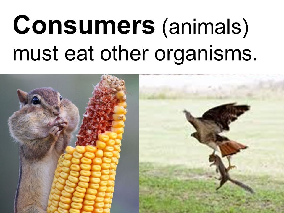 Consumers (animals) must eat other organisms.