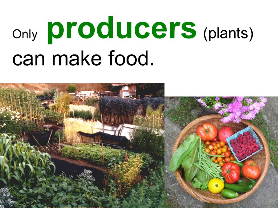 Only producers (plants) can make food.