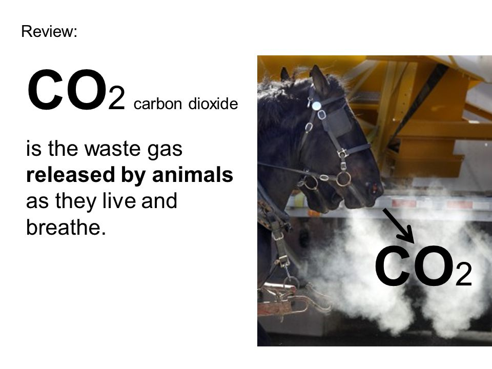 Review: CO2 carbon dioxide is the waste gas released by animals as they live and breathe. CO2