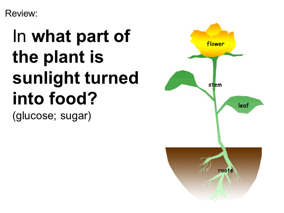 Review: In what part of the plant is sunlight turned into food.