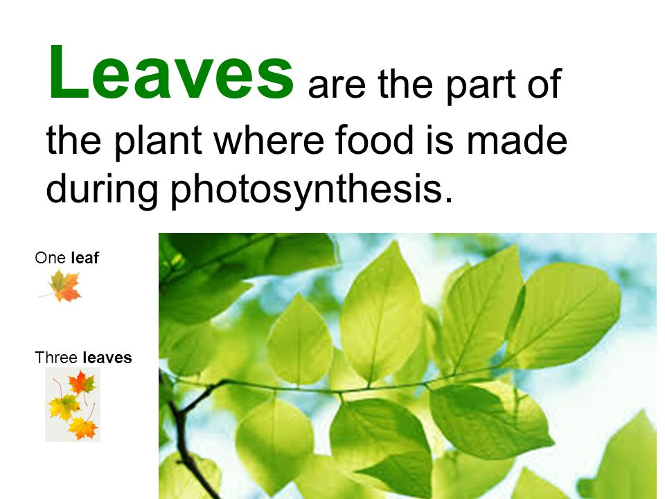 Leaves are the part of the plant where food is made during photosynthesis.