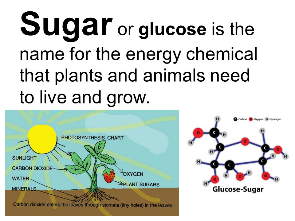 Sugar or glucose is the name for the energy chemical that plants and animals need to live and grow.