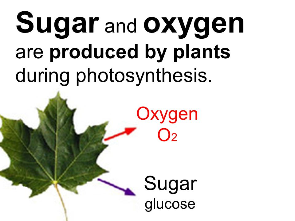 Sugar and oxygen are produced by plants during photosynthesis.