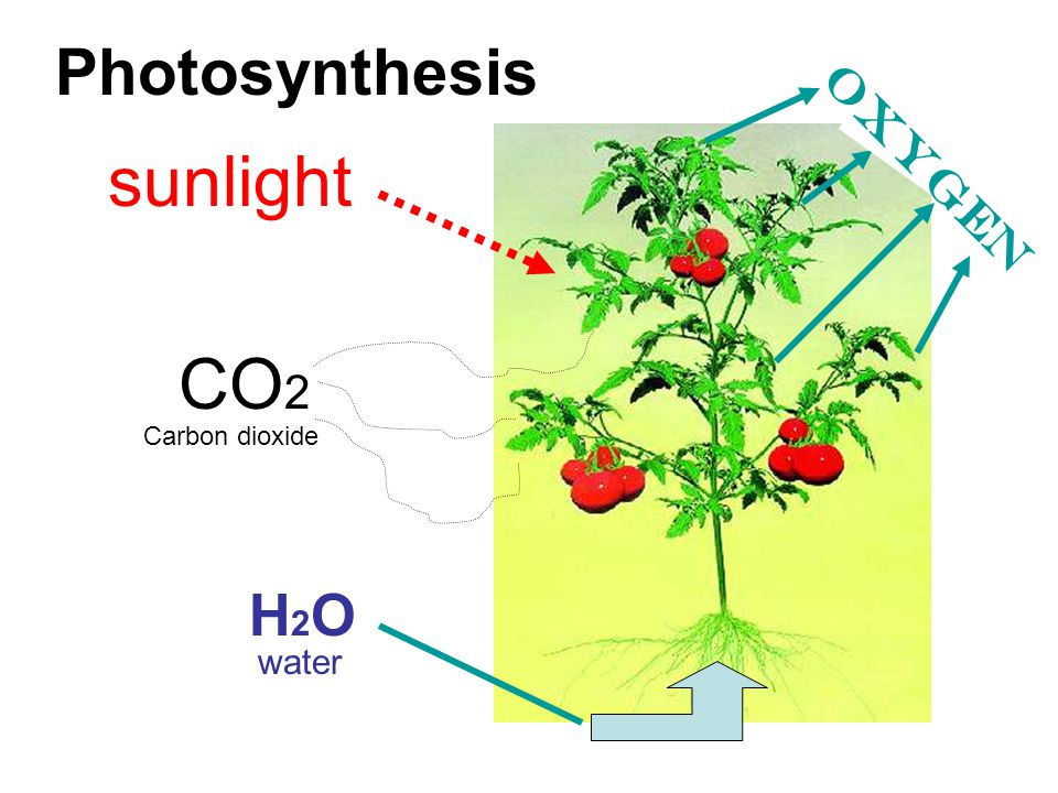 Photosynthesis sunlight oxygen CO2 Carbon dioxide H2O water