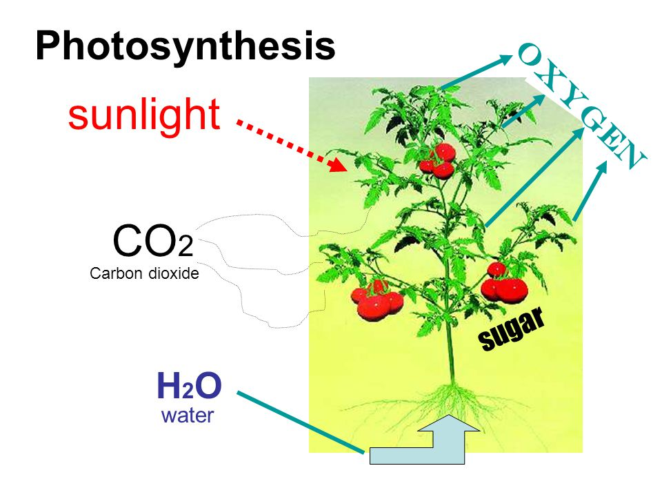 Photosynthesis sunlight oxygen CO2 Carbon dioxide sugar H2O water