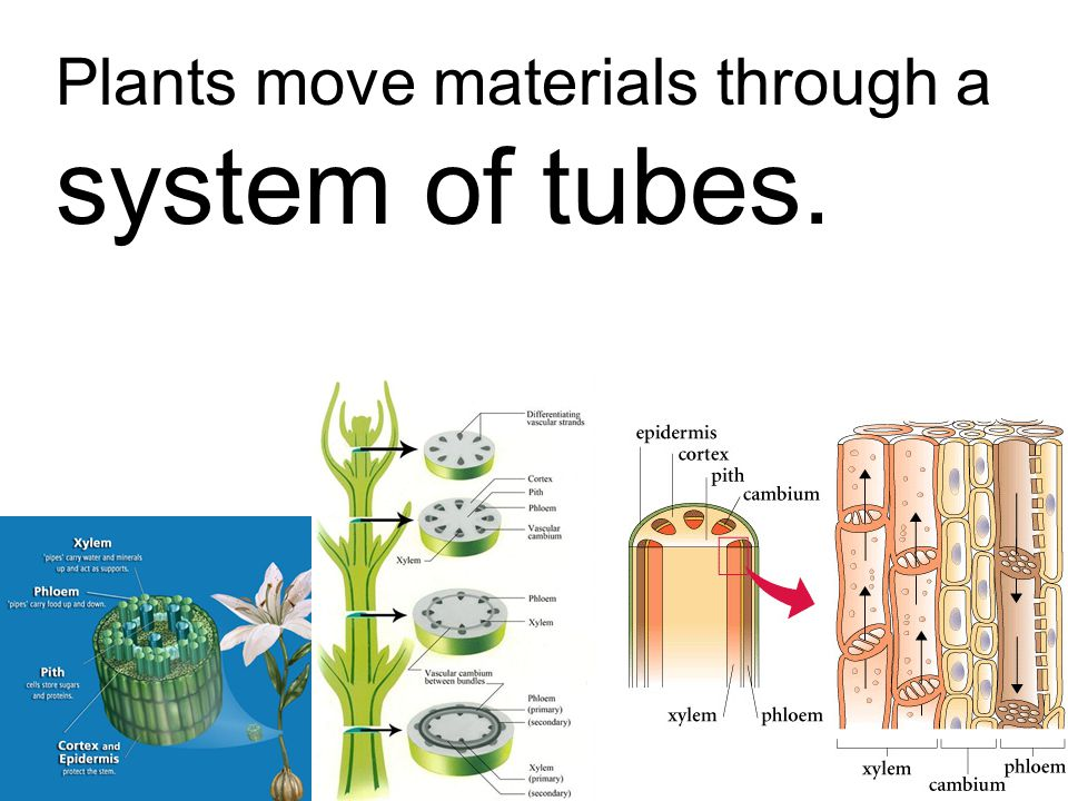 Plants move materials through a system of tubes.